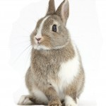 Brown-and-white Netherland bunny